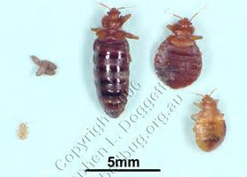 Bed Bug Blood Meal Processing